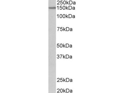 PCDH17 Antibody