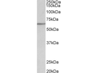 AKT2 Antibody