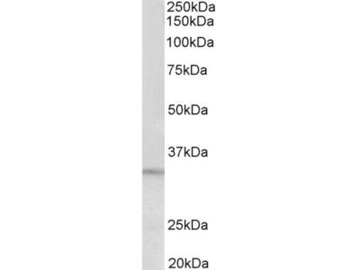 PI15 Antibody