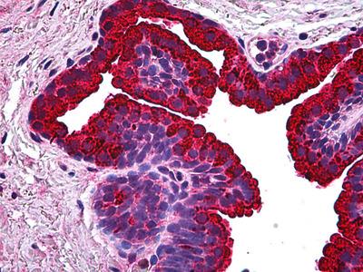 NABC1 Antibody [1B5]