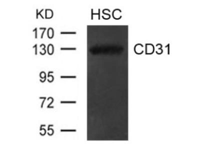 CD31 (PECAM1) Antibody
