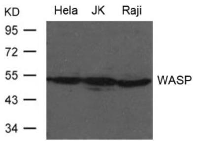 WASP Antibody