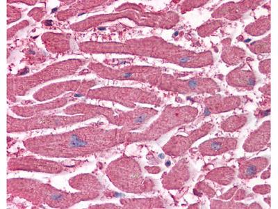 C20orf31 Antibody [2E4]