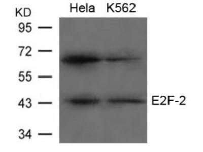 E2F2 Antibody