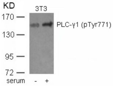 PLC gamma1 (phospho Tyr771) Antibody