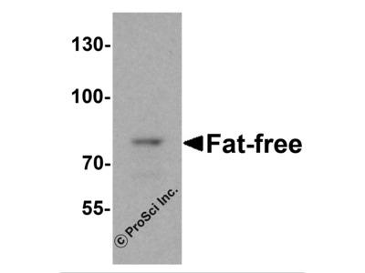 Fat Free Antibody