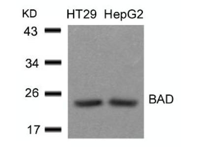 BAD (Ab 136) Antibody