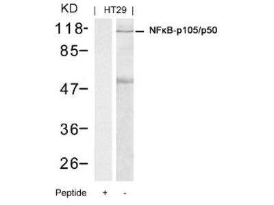 NFkB p105 / p50 (Ab 337) Antibody