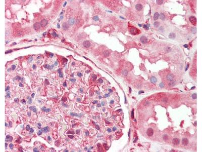 CRMP2 Antibody [33CT11.40.3]