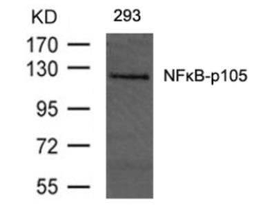 NFkB p105 / p50 (Ab 893) Antibody