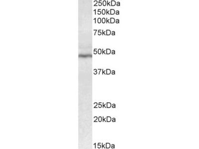 CD28 Antibody