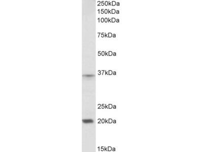 HOXA9 Antibody