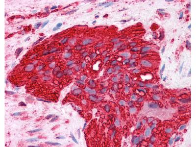 Alpha Tubulin Antibody [DM1A]