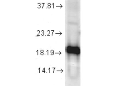 Cu/Zn SOD Antibody