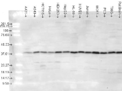 p38 Antibody