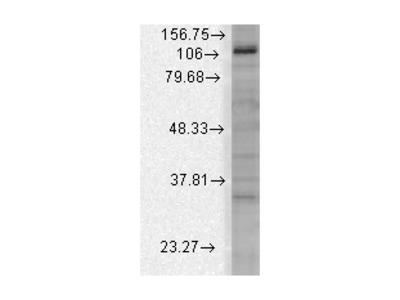 mSlo3 Antibody