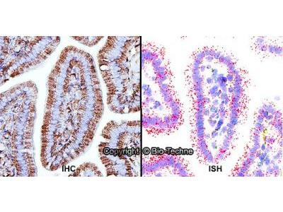 Perilipin-2/ADFP Antibody