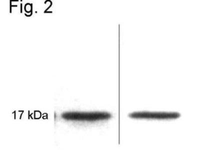 Calmodulin Antibody (2D1)