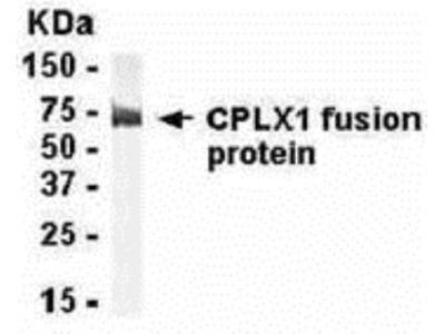 Complexin-1 Antibody