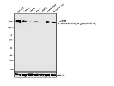 P-Glycoprotein Monoclonal Antibody (C494)