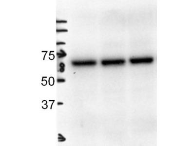 Goat Polyclonal Albumin Antibody
