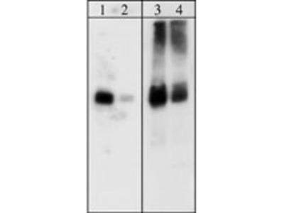 Paxillin (C-terminal) Antibody