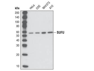 SUFU (C54G2) Rabbit mAb