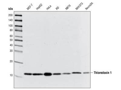 Thioredoxin 1 (C63C6) Rabbit mAb