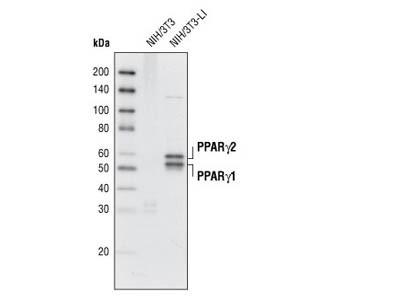PPARγ (D69) Antibody