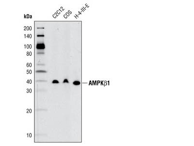 AMPKβ1 (71C10) Rabbit mAb