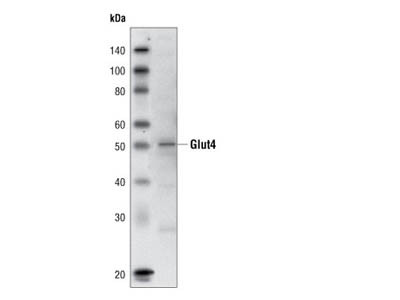 Glut4 (1F8) Mouse mAb