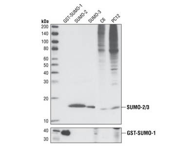 SUMO-2/3 (18H8) Rabbit mAb