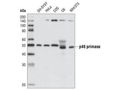 p48 Primase (8G10) Rat mAb