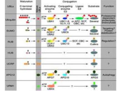 p48 DDB2 Antibody