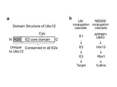 UBC12 Antibody