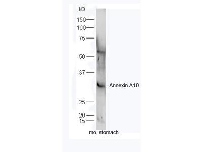 Annexin A10 Antibody, ALEXA FLUOR® 350 Conjugated