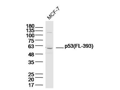 p53 (FL-393) Antibody