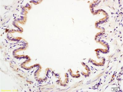 Anterior Gradient 2 Antibody, ALEXA FLUOR® 350 Conjugated