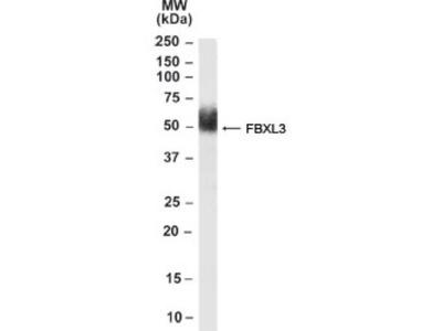 FBXL3 Antibody