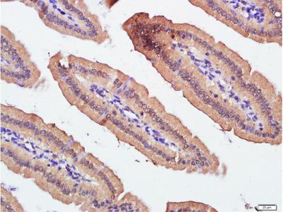 ZnT-1 Antibody