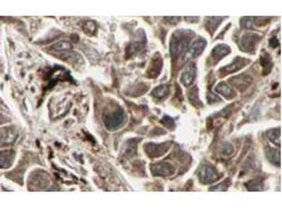 RFFL Antibody