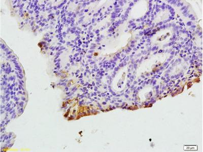 CXCR1 Antibody, ALEXA FLUOR® 350 Conjugated