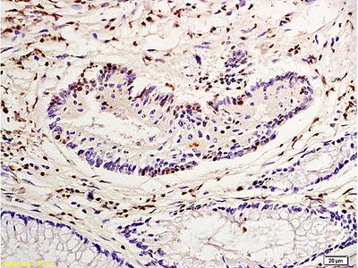 Nucleophosmin Antibody, Cy7 Conjugated