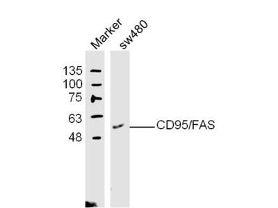 Apo-1 Antibody, ALEXA FLUOR® 350 Conjugated
