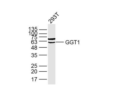 GGT1 Antibody, ALEXA FLUOR® 350 Conjugated