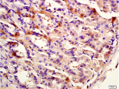 CK12 Antibody, ALEXA FLUOR® 350 Conjugated