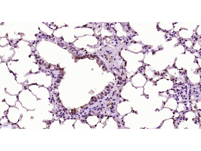 AKAP2 Polyclonal Antibody, ALEXA FLUOR® 350 Conjugated