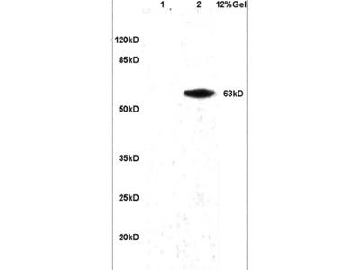 Granulin Antibody, ALEXA FLUOR® 350 Conjugated