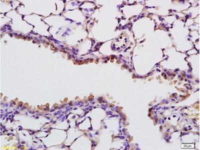RNASE4 Antibody, ALEXA FLUOR® 350 Conjugated