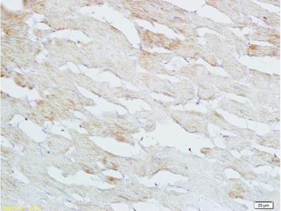 HB-EGF Antibody, ALEXA FLUOR® 350 Conjugated